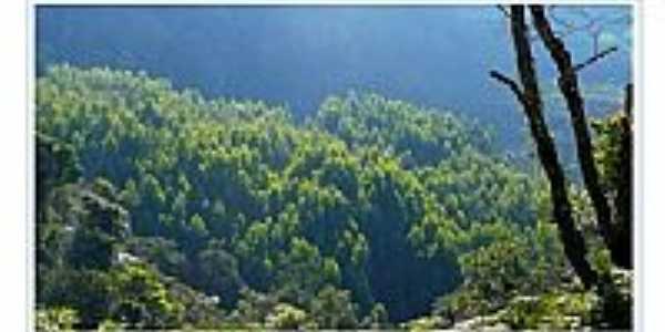 Plantação de Eucalíptos-Foto:J.Dias