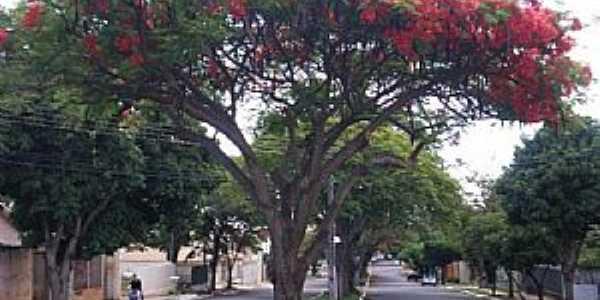 Umuarama-PR-Flamboyant na Av.Rio de Janeiro-Foto:Udson Pinho