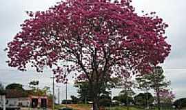 Vila Alta - Ipê roxo em floração, Alto Paraiso PR - BR por José Bento Beraldi