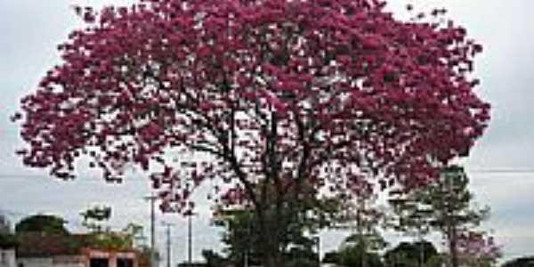 Ipê roxo em floração, Alto Paraiso PR - BR por José Bento Beraldi