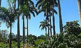 Conceição de Macabu - Palmeiras na Praça José Bonifácio Tassara em Conceição de Macabu-Foto:Petter Entringer