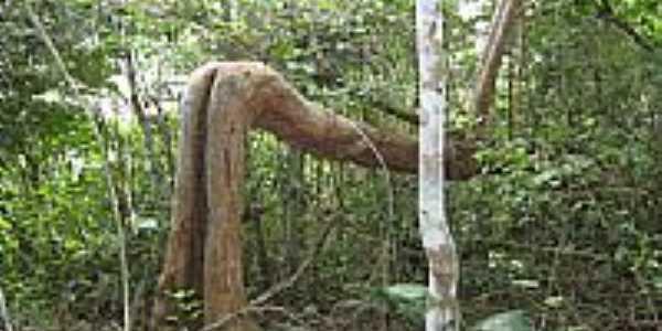 Itagimirim-BA-Árvore curiosa-Foto:Marcos Eugenio
