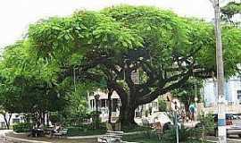 Santa Isabel do Rio Preto - Árvore centenária da Praça Tobias Lenzi.