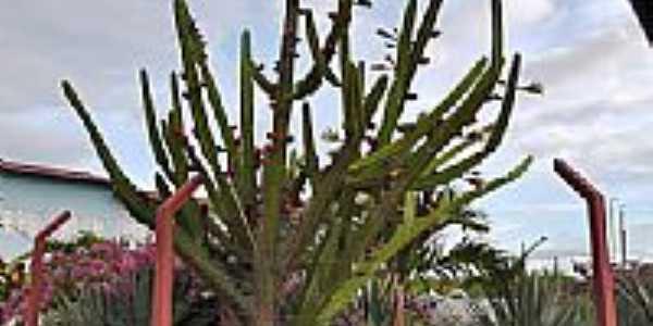 Mandacaru florido em Antônio Martins-Foto:Dedé de Zé Luca