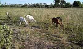 Apodi - Cabras em Apodi-RN-Foto:Marcos-DF