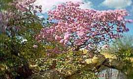 Caicó - Ipê rosa