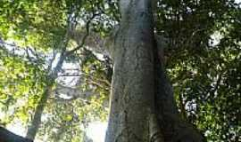 Cerejeiras - Árvore-Foto:valdecirbairros