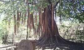 Iuiu - Iuiú-BA-Velha árvore-Foto:Marcos Sabino