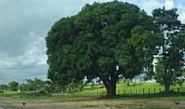Ji-Paraná - Mangueira plantada nos anos 60 em Jí-Paraná-RO-Foto:Ademir de Matos