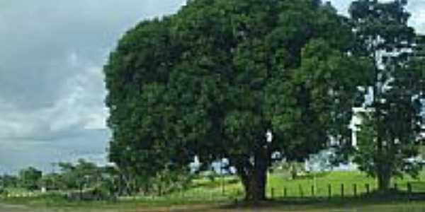 Mangueira plantada nos anos 60 em Jí-Paraná-RO-Foto:Ademir de Matos