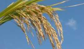Aceguá - No Aceguá se planta arroz e a produção é de primeira., Por Tassiane  Enhardt Züge