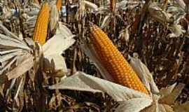 André da Rocha - Irrigação em milho de pipoca
