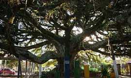 Arambar� - Arambar�-RS-Figueira da Paz-Foto:Henrique de BORBA
