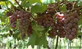 Barão do Triunfo - colheita de Uvas