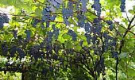 Cacique Doble - Parreira de uva-Foto:Patrícia D. Zottis