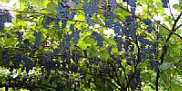 Parreira de uva-Foto:Patrícia D. Zottis