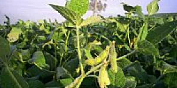 Plantação em Capo-Erê-Foto:udlutl
