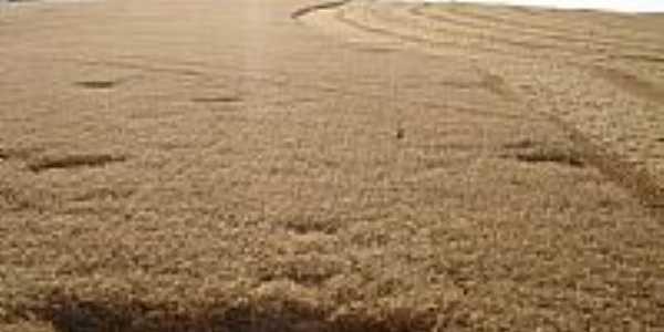 Lavoura de trigo em Coxilha por jjcana