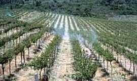 Garibaldina - Plantação de uvas em Garibaldina-Foto:cnpuv.
