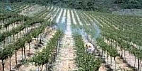 Plantação de uvas em Garibaldina-Foto:cnpuv.