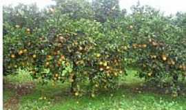Gramado dos Loureiros - Plantação de laranja em Gramado dos Loureiros-Foto:P.M.