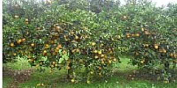 Plantação de laranja em Gramado dos Loureiros-Foto:P.M.