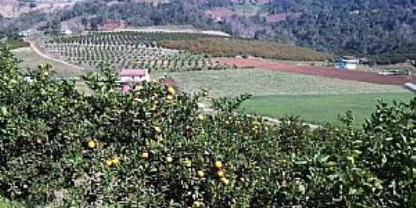 Produção de laranja em Liberato Salzano - Por Ricardo Ribas