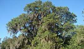 Morrinhos - Árvore nativa da região-Foto:Marcelo de A. Silvei…