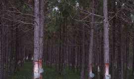 Mostardas - Mostardas-RS-Retirada de resina do Pinheiro-Localidade de Solid�o-Foto:Angelo Carlos Ronchi