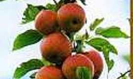 Muitos Capões - Plantio da maçã