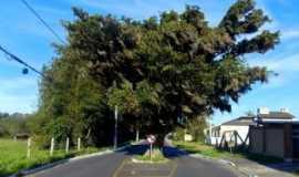 Osório - Uma árvore no Meio do Caminho-Osório/RS, Por NellyCardoso