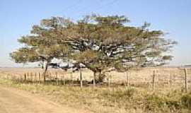 Passo Raso - Figueira na estrada de Passo Raso-Foto:vila progresso