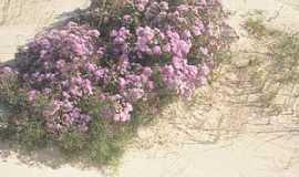 Quintão - Quintão-RS-Flores nas dunas na Praia de Santa Rita-Foto:ruttscheidt