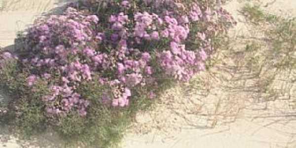 Quintão-RS-Flores nas dunas na Praia de Santa Rita-Foto:ruttscheidt