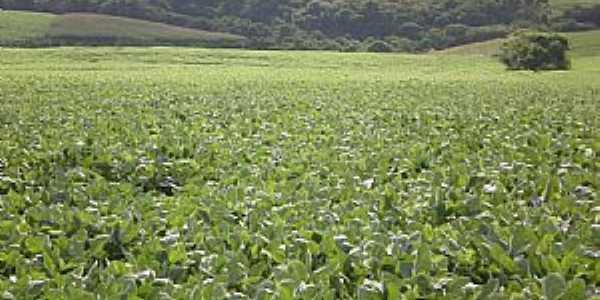 Rio Toldo-RS-Cultivo de soja-Foto:Alcedir F. Sostizzo