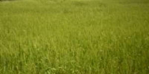 plantação de arroz, Por Méluri Sá