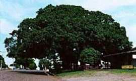 Santo Antônio das Missões - Árvore Fugueira - Simbolo Histórico do Município., Por Maitê Alexandra Bakalarczyk Corrêa