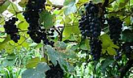 São Domingos do Sul - Uvas-Foto:Alcides Gatto