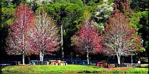 São Francisco de Paula-RS-Liquidâmbares árvore símbolo da região-Foto:Sunriser ©