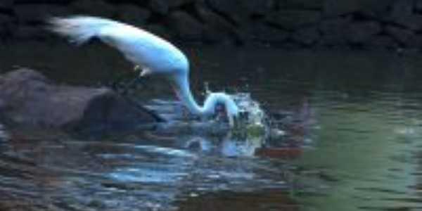 A garça da lagoa do parque centenário, Por Darlan Raymundo