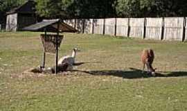 Sapucaia do Sul - Lhamas no Parque Zoológico-Foto:Henrique de BORBA