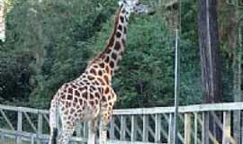 Sapucaia do Sul - Girafa no Parque Zoológico-Foto: Henrique de BORBA