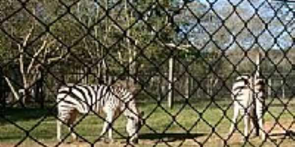 Zebra no Parque Zoológico-Foto:Henrique de BORBA