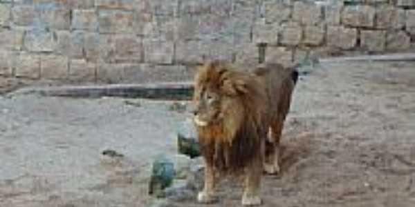 Leão no Parque Zoológico-Foto:Henrique de BORBA