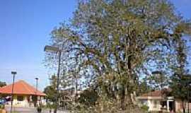 Sert�o Santana - Grande �rvore-por alumoreira