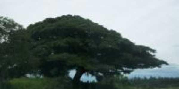 Velha Figueira na Aleixo Rocha-Foto:Maria Beatriz Rocha Aquino