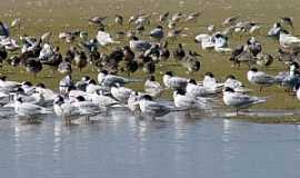 Tavares - Tavares-RS-Aves variadas na praia do Parque Nacional Lagoa do Peixe-Foto:Gilberto Sander Müller
