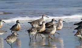 Tavares - Tavares-RS-Narcejas na praia do Parque Nacional Lagoa do Peixe-Foto:Gilberto Sander M�ller