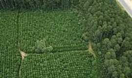 Correia Pinto - Plantação de Pinus em Correia Pinto-SC