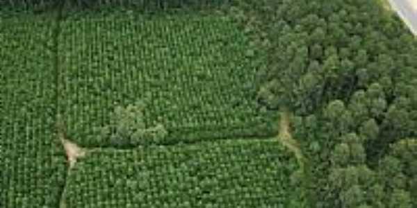 Plantação de Pinus em Correia Pinto-SC